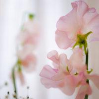花言葉は「門出」。可愛らしい印象の「スイートピー」は、卒業シーズンにぴったりの画像