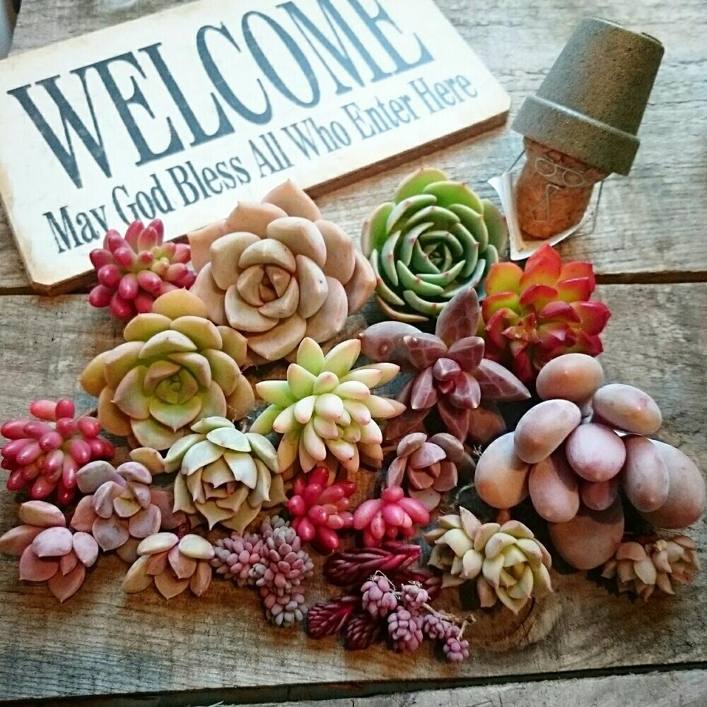 メルカリ多肉の画像 by yukiさん|カット苗と多肉植物 (2016月1月22日)|みどりでつながる🍀GreenSnap