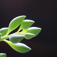 なんともフシギなカタチが魅力的!代表的なセネキオ属の多肉植物5選!!の画像