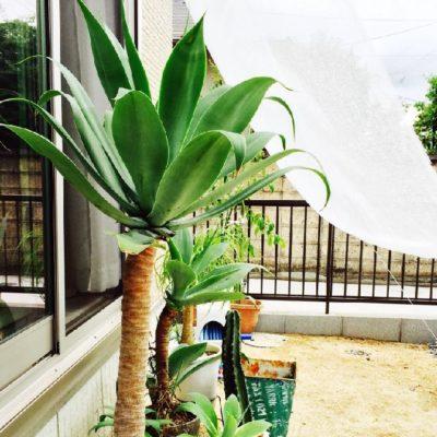 アガベアテナータの画像 by ひっさゆさん|カフェみたいな暮らしコンテストと日よけと観葉植物と寒冷紗と多肉植物 (2015月7月21日)|みどりでつながる🍀GreenSnap
