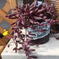 可愛らしい花が咲く多肉植物をご紹介!の画像