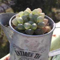 寒い季節にも安心!耐寒性のある多肉植物3選の画像