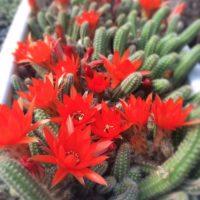 ギャップにビックリ!色鮮やかな赤い花を咲かせる多肉植物の画像