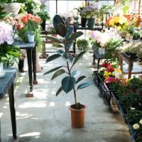 お花屋さんでよく見かける観葉植物7選の画像