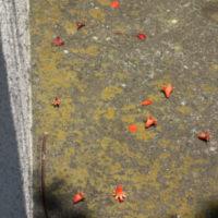 え? 地面にタコさんウインナー?? 正解は……「ザクロ」の花です。の画像