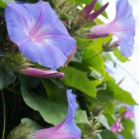さわやかなアサガオの花とは、ちょっと違う? 変化アサガオの変態的な花。の画像