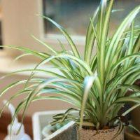 マンションで育てやすい小型観葉植物ベスト3の画像