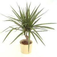 存在感をアピール!おすすめの特大観葉植物!の画像