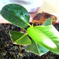 観葉植物の枝を切るだけではだめ!正しい挿し木のやり方の画像