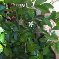 バルコニーにさっと置ける観葉植物の画像