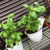 ハーブを観葉植物として育ててみよう!の画像