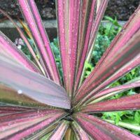 赤い観葉植物3選選んじゃいました!の画像