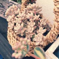 プレゼントにおすすめの観葉植物の画像