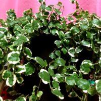 つるの特性を活かしたインテリアが楽しめる観葉植物の画像