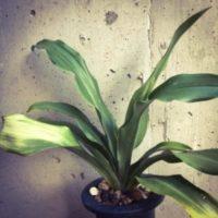 万年青と書く縁起のいい観葉植物、オモトの画像