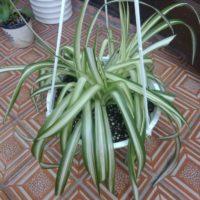 だらーんと伸びる様が可愛い、垂れ下がる観葉植物の画像