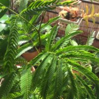 変化を楽しむ観葉植物、エバーフレッシュについての画像