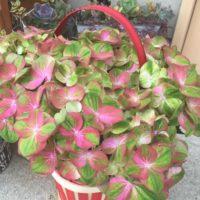 母の日の贈り物に、観葉植物をの画像