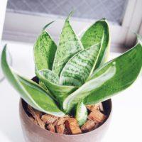リーズナブルな観葉植物、サンセベリアの魅力の画像