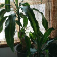 激安には見えない!安くても見栄えのいい観葉植物3選の画像