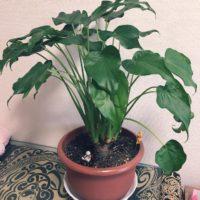 リビングに置きたい観葉植物3選の画像