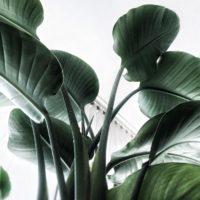 オーガスタなど、トロピカル系の観葉植物をご紹介!の画像