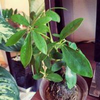 室内で育てられる大型の観葉植物の画像