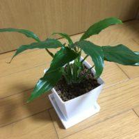 日陰でも育つ観葉植物3選!の画像