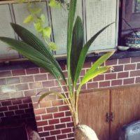 ココナッツミルクでお馴染みのココヤシをご紹介!の画像