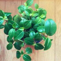 香辛料にもなる可愛い植物ペペロミアの画像