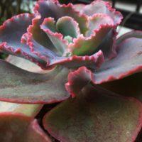 花の様な多肉植物で鉢を飾ろう!の画像