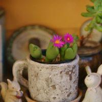 驚き!思いがけず綺麗な花が咲く多肉植物3選!の画像