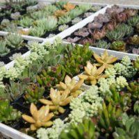 冬型多肉植物の種類と育て方についての画像