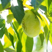 ポポーの栽培にぴったりのおすすめガーデンツールをご紹介!の画像