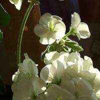ゼラニウムという植物とフェンスを使った楽しみ方を紹介の画像