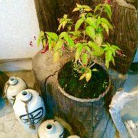 赤い実がキレイ!ジュズサンゴの肥料はコレ!の画像