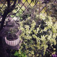 クレマチスを美しく簡単に飾れるDIY!の画像