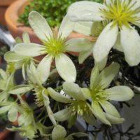 花が綺麗なクレマチスモチーフの雑貨3選の画像