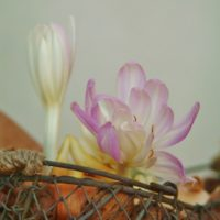コルチカムの花を雑貨に取り入れてみよう!の画像