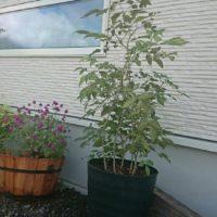 庭木でも人気があるアオダモを使ったDIYをご紹介!の画像