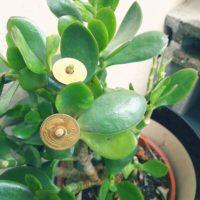 金の成る木!?多肉植物の花月をご紹介!の画像