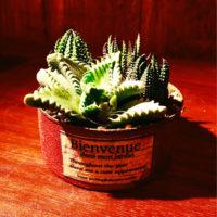 多肉植物のあなたのタイプどれ?冬型種を特集!の画像