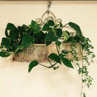 インテリアとしてグリーン系の植物を育てよう!の画像