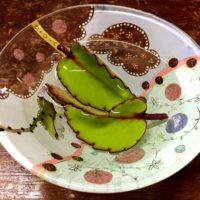 葉から芽が出る!?多肉植物の種類ベンケイソウ科のハカラメ!の画像