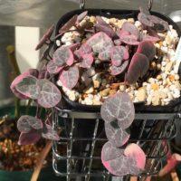 通販でガガイモ科の多肉植物が買えるところをご紹介!の画像
