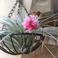 なんて美しいんでしょ!ひときわカラフルな蕾が顔を出す、エアプランツの花の画像