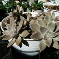 暑さに強いグラプトペタルムの品種を育てようの画像