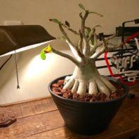 変わった多肉植物!コーデックス類の育て方の画像