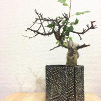 塊根植物コーデックス類のお手入れ方法をご紹介!の画像