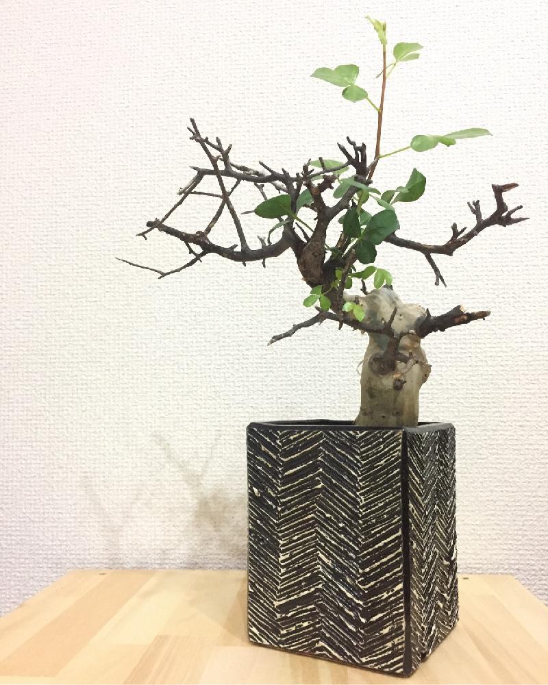 塊根植物コーデックス類のお手入れ方法をご紹介!